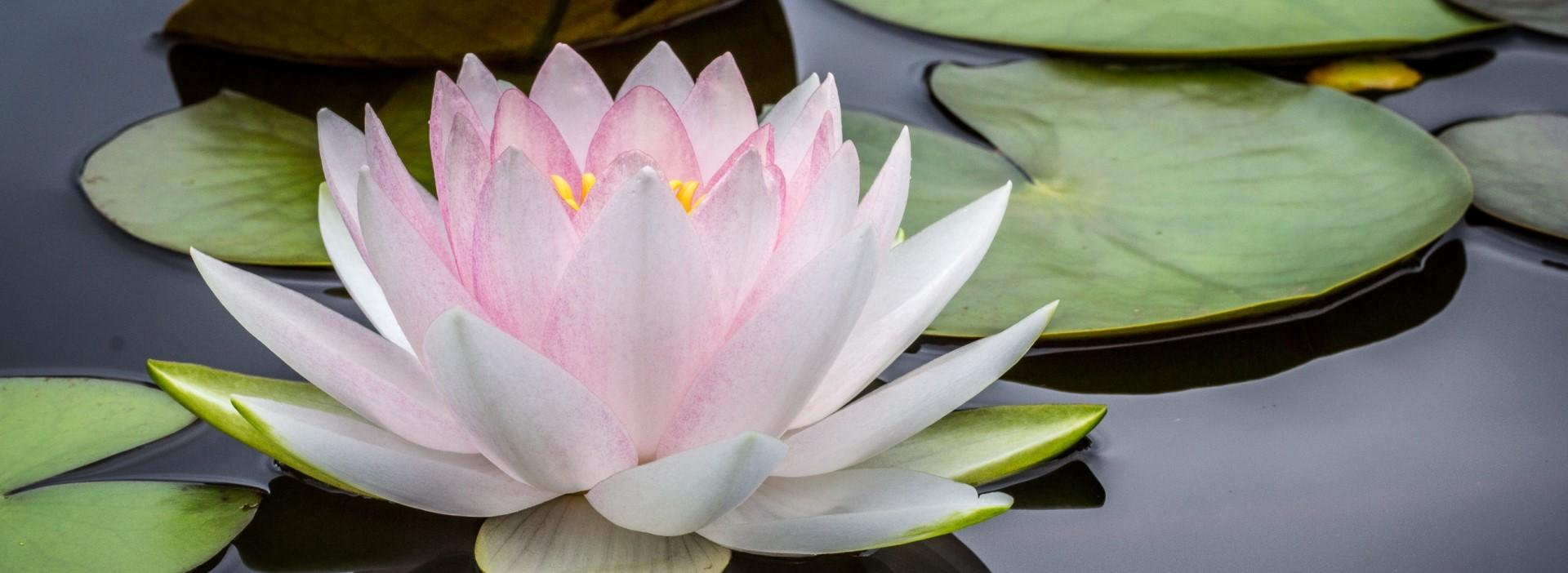 lotus blossom representing restorative yoga